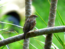 Sparrow clinging to a some kind of plant Royalty Free Stock Photo