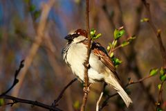 Sparrow close take - Passer Domesticus royalty free stock photo