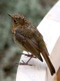 Sparrow Close-up Stock Photos