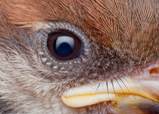 Sparrow close up Royalty Free Stock Image