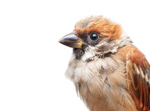Sparrow close up Stock Images