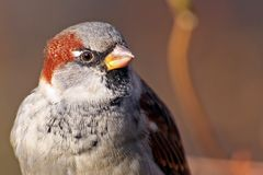 Sparrow close-up Royalty Free Stock Photos