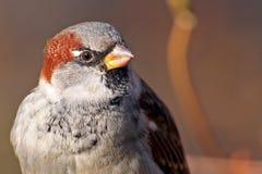 Sparrow close-up. (Passer Domesticus Royalty Free Stock Photos