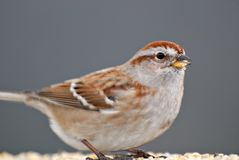 Sparrow Close Up. Close look at a red headed sparrow Stock Photos