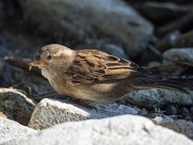 Sparrow close-up royalty free stock image