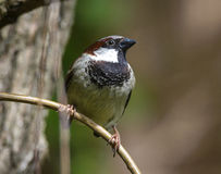Sparrow. Close up of House Sparrow (Passer domesticus) on a twig Stock Image