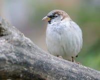 Sparrow close up Royalty Free Stock Photos