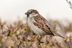 Sparrow close up Royalty Free Stock Photo