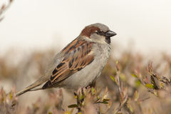 Sparrow close up. Sparrow sitting on a bush close up Stock Image