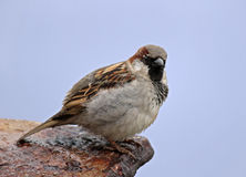 Sparrow. Close up of sparrow sitting on rusty sheet Stock Photography