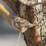 Sparrow close up Stock Photography