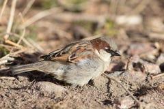 Sparrow closeup Stock Image