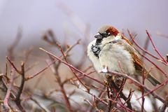 Sparrow in a cold winter day. Beautiful male sparrow standing on a leafless bush in winter Stock Photography