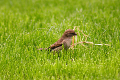Sparrow collecting Royalty Free Stock Photos