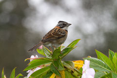 Sparrow, Colombia Royalty Free Stock Photography