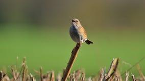 Sparrow. Common sparrow singing on a branch Stock Photos