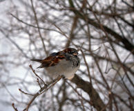 Sparrow on a cool winter day. Sparrow sitting on a branch Stock Images