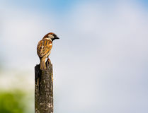 Sparrow with copyspace Stock Photography