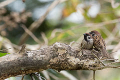 Sparrow couple. On the tree Stock Photography
