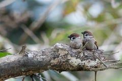 Sparrow couple. On the tree Stock Photos