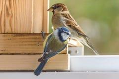 Sparrow couple on a wood Royalty Free Stock Photos