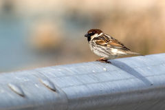 Sparrow on a crash barrier Royalty Free Stock Image