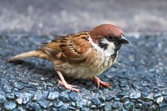 Sparrow curious Royalty Free Stock Image