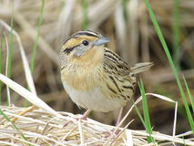 Sparrow de Le Comte's Image libre de droits