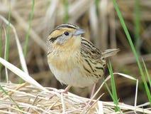 Sparrow di Le Comte Immagine Stock Libera da Diritti