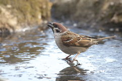 Sparrow (Disambiguation). Royalty Free Stock Photos