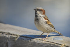 Sparrow, disambiguation Royalty Free Stock Photography