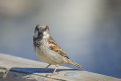 Sparrow, disambiguation Royalty Free Stock Photo