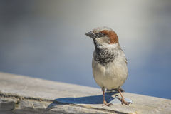 Sparrow, disambiguation Stock Photos