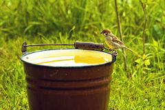 Sparrow drinking from a bucket of water Royalty Free Stock Photo