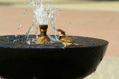 Sparrow is drinking water Stock Image