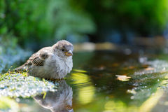 Sparrow drinking water Royalty Free Stock Images