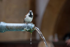 Sparrow drinking water. This picture was taken from a fountain of the medieval town of Murten in Switzerland while a sparrow was drinking water Royalty Free Stock Photos