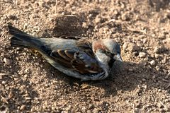 Sparrow in a dust Royalty Free Stock Photos