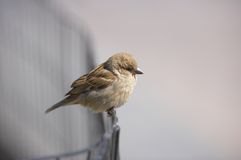 Sparrow early misty morning Royalty Free Stock Photos