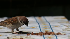 Sparrow Eat Cereal stock video