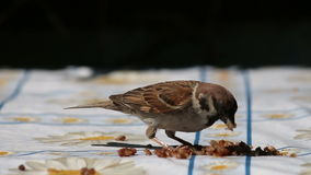 Sparrow Eat Cereal stock video footage