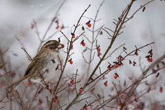 Sparrow Eating Berries Stock Images