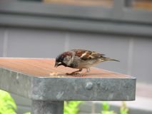 Sparrow is eating bread crumbs Stock Photos