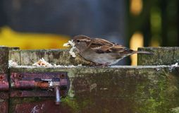 Sparrow eating breadcrumbs Royalty Free Stock Photos