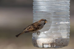 Sparrow eating grain. In a plastic trough Stock Photo