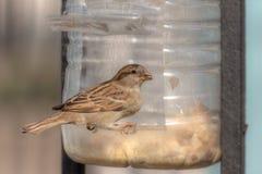 Sparrow eating grains Royalty Free Stock Photos
