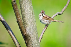 Sparrow Eating Insect Stock Photography