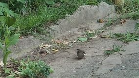 Sparrow eating an insect. A sparrow eating an insect stock footage