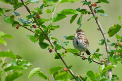 Sparrow Eating Insect in Berry Bush Royalty Free Stock Photography