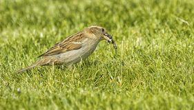 Sparrow eating an insect Royalty Free Stock Photography